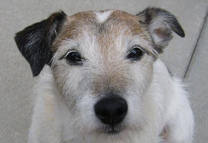 Imagen del perro de raza Terrier llamado Jack, con 13 años, fue llevado al doctor de emergencia. (Agencias)