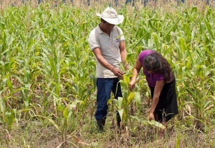 Campesinos de Bacalar esperan ser apoyados. (Javier Ortiz/SIPSE)