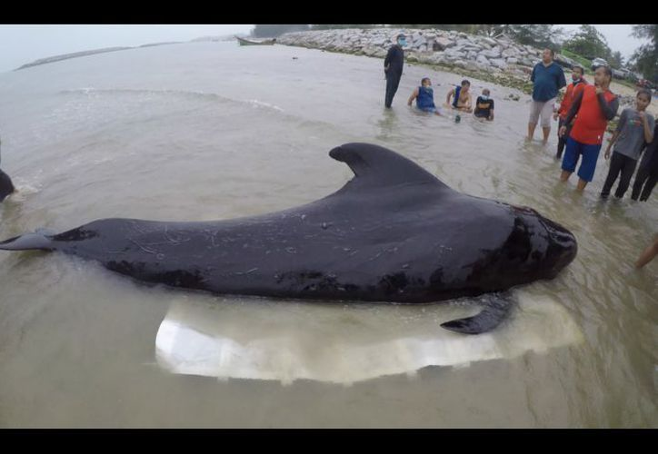 Voluntarios y veterinarios llegaron a ayudar al cetáceo el 28 de mayo. (Foto: AFP)