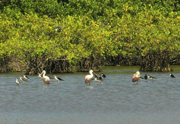 La campaña permitirá el repoblamiento de las especies amenazadas en las reservas. (Harold Alcocer/SIPSE)