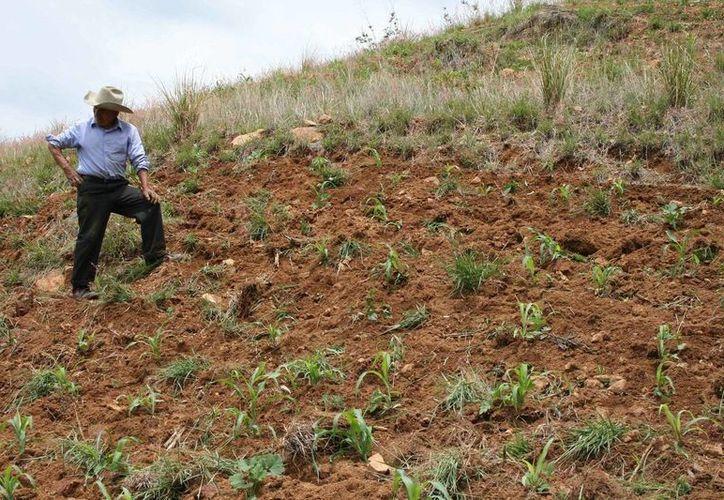 Falta menos de un mes para las cosechas en el ejido. (Carlos Yabur/SIPSE)
