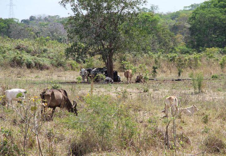 En el estado cuentan con 250 mil hectáreas para ejercer la ganadería, que piensan explotar sin deforestar. (Carlos Castillo/SIPSE)