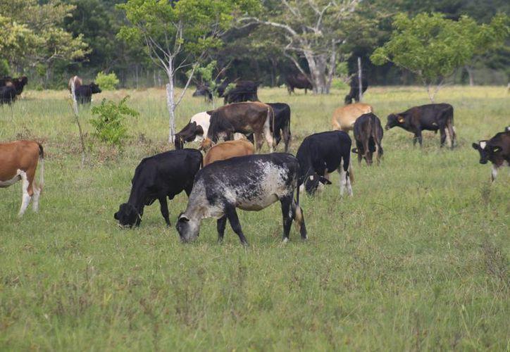 Alrededor cinco mil ganaderos de la zona sur del Estado, se dedican a la producción de leche en Quintana Roo. (Harold Alcocer/SIPSE)