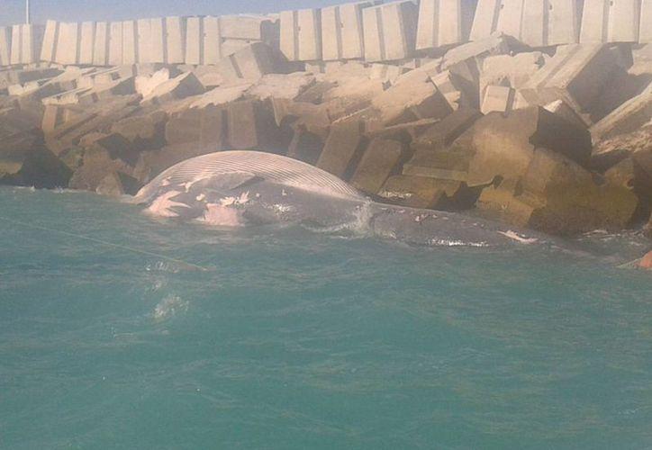 Miles de pescadores yucatecos temen que las acciones de Pemex sean las causantes de la reciente muerte de numerosos animales marinos, algunos menores y otros tan grandes como la ballena (foto) remolcada hacia Progreso. (Milenio Novedades)