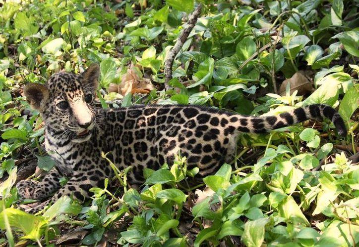 Piden a los pobladores que no asesinen a los jaguares. (Tomás Álvarez/SIPSE)