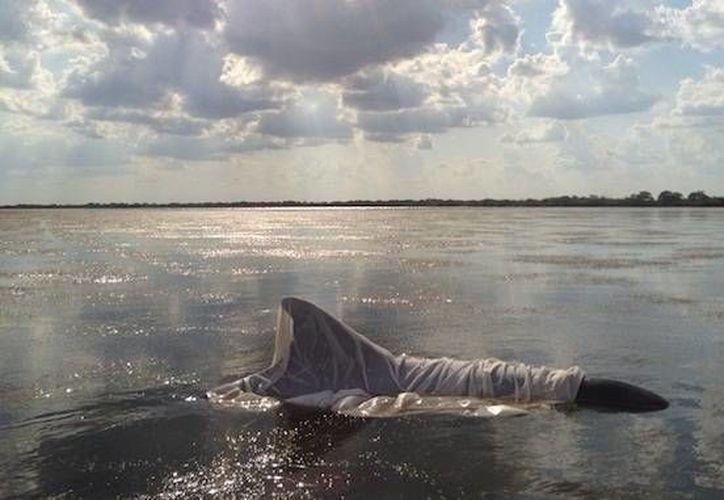 Los delfines están muriendo en la Laguna Indian River. Sólo un delfín enfermo, anteriormente, ha sido rescatado con vida. (Wired)
