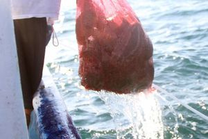 Se acaba el pepino de mar en Yucatán