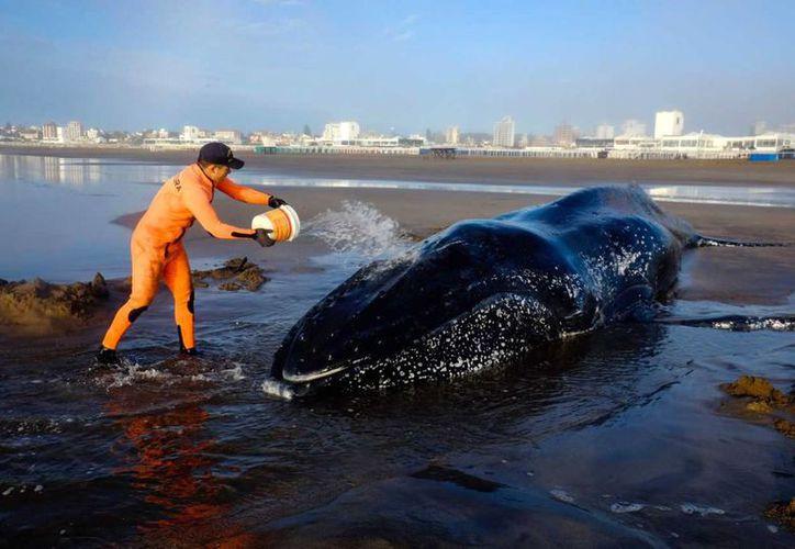 El tiempo corre en contra para salvar a una ballena varada. (TELAM)