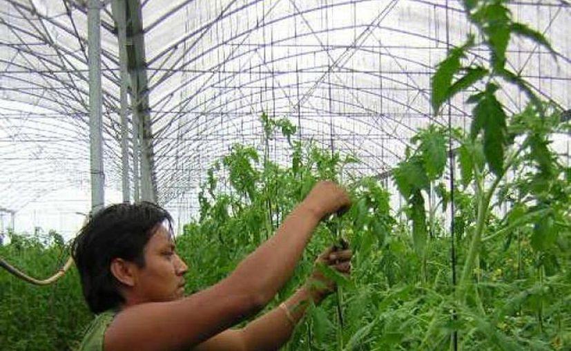 El software ERP Agrícola es una herramienta que agiliza la operación y organiza la gestión del sistema productivo de un invernadero. (Archivo/SIPSE)