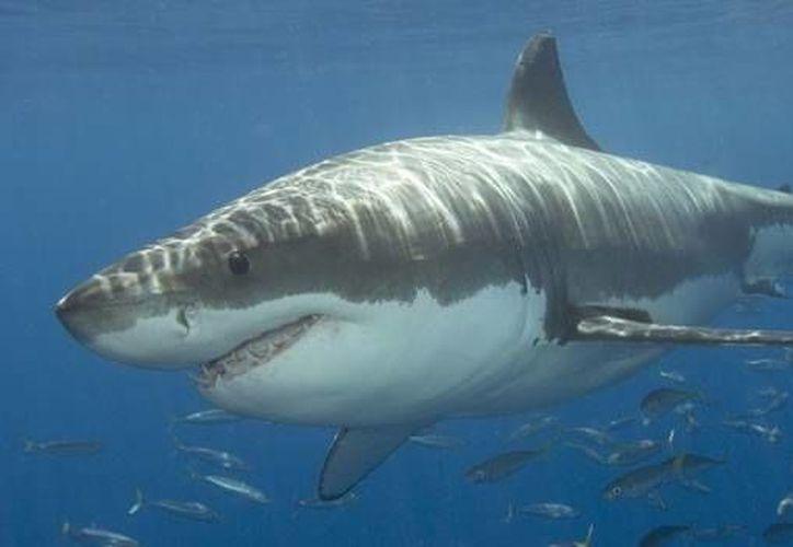 Uno de los documentales habla sobre las investigaciones en el mar abierto con tiburones. (Contexto/Internet)