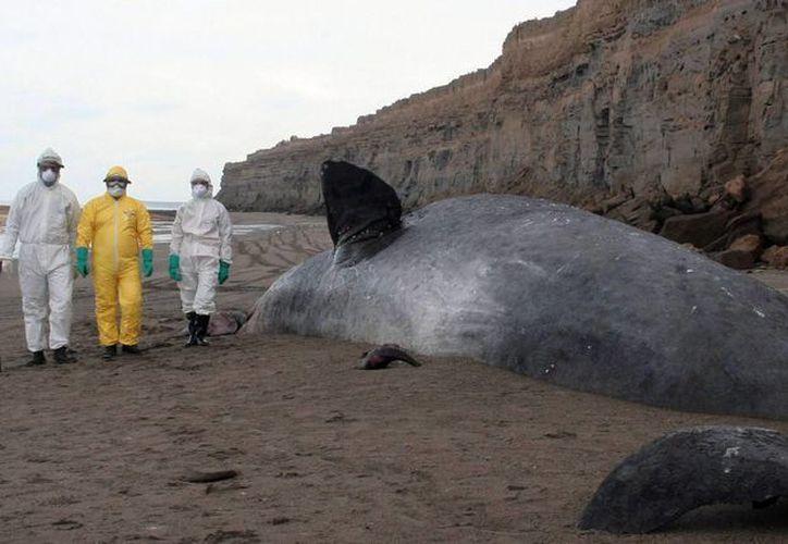 Expertos permanecen este martes 24 de junio de 2014, al lado de cachalote de 16 metros de largo que apareció muerto en las costas del municipio de El Cóndor,  provincia patagónica de Río Negro, en el sur de Argentina. (EFE)