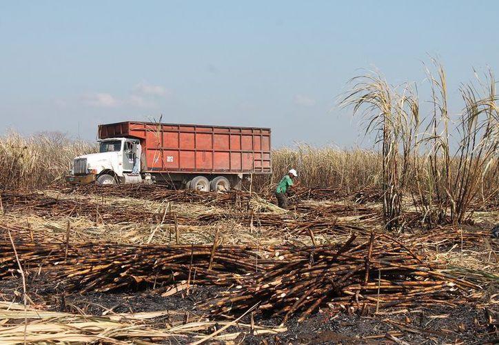 300 productores forman parte del Ejido de Pucté, quienes ayudarán a otros frentes a acabar sus zafras.