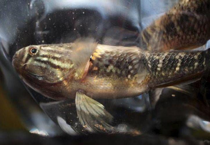 El proyecto entregar peces samos a las familias que almacenan agua en tanques o barriles abiertos a reducido los casos de dengue y  chikungunya en la comunidad costeña de Playa San Diego. (Archivo/Reuters)