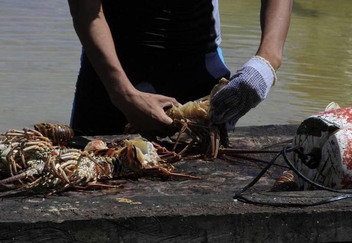 Cada pescador en buena temporada llega a recibir hasta 10 mil pesos en una jornada de 15 días. (Ángel Castilla/SIPSE)
