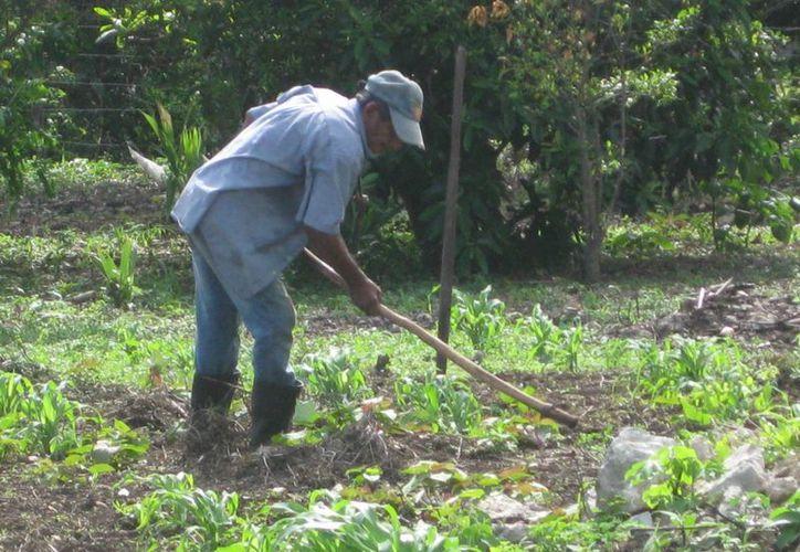 Los agricultores locales han utilizado las mismas técnicas de cultivo toda su vida, por lo que no producen lo suficiente para vender. (Javier Ortiz/SIPSE)