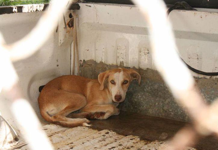 Los reportes por ataque de perros se atienden a través de los números telefónicos 8725795 y 066.  (Irving Canul/SIPSE)