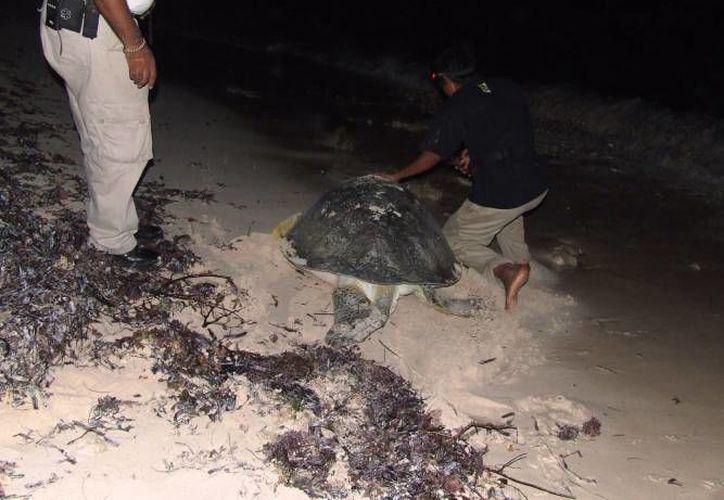 La caza de tortugas realizada por los humanos es la amenaza más fuerte. (Archivo/SIPSE)