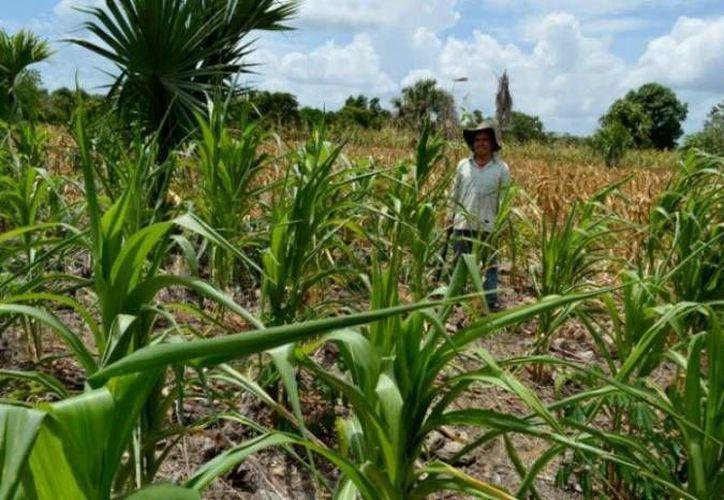 La tecnología en beneficio de los trabajadores del agro aumenta con los apoyos de la Sagarpa. Imagen de un hombre en una milpa.  (Milenio Novedades)