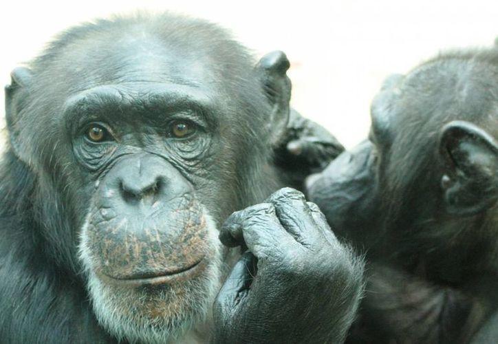 Científicos determinaron que el virus VIH-1, el de mayor presencia en el mundo,  tiene su origen en una especie de chimpanché endémica del sur de Camerún, denominada 'Pan troglogdytes troglodytes', que aparece en la imagen. (duanrevig.com)