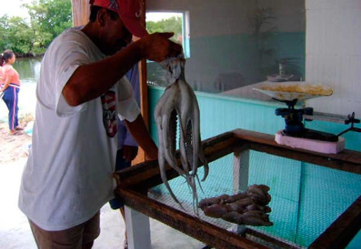 La captura de pulpo, langosta y mero dejó derrama por casi 550 mdp en Yucatán. (SIPSE)