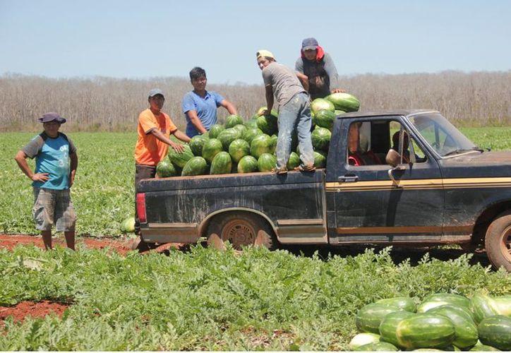 2.40 pesos ofrecen el kilo de la fruta a un empresario de Campeche, con quien harán su primera venta. (Foto: Tony Blanco  / SIPSE)