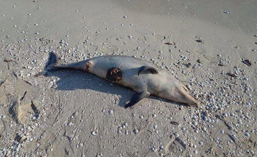 Imagen del delfín que recaló esta mañana en playas de Chuburná Puerto. (Gerardo Keb/Milenio Novedades)