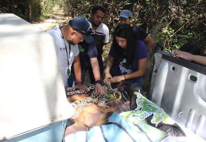 El rescate se hizo el pasado domingo, en un tramo antes de la comunidad Luis Echeverría. (Foto: Joel Zamora/SIPSE)