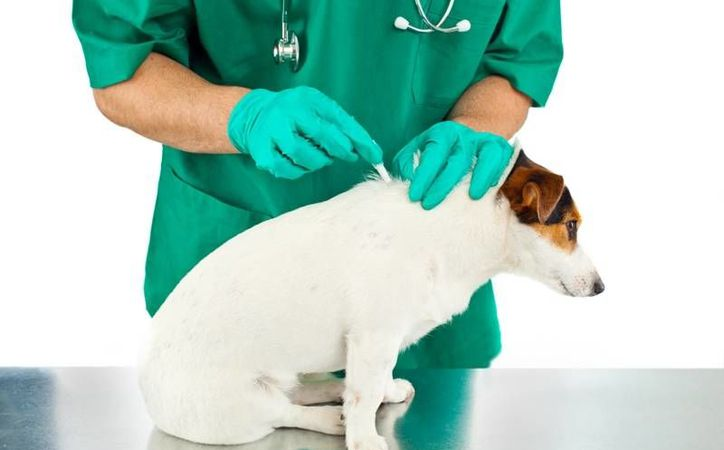 Se recomienda revisar constantemente a los perros y aplicarle químicos como garrapaticidas para proteger a toda la familia. (Milenio Novedades)