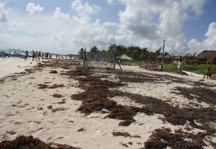La limpieza de sargazo se terminará hasta el 15 de enero en las playas de Tulum. (Sara Cauich/SIPSE)