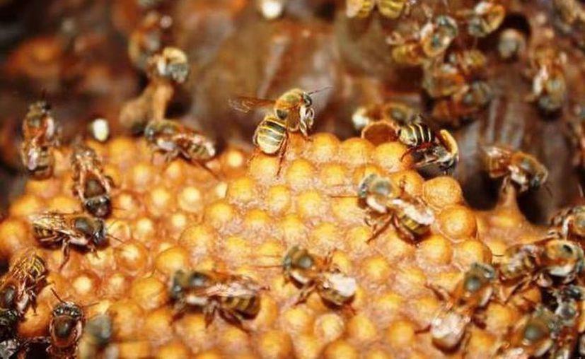 Las abejas es un tema que debe tratarse en conjunto, en la que deberían involucrarse tanto apicultores como autoridades. (Milenio Novedades)