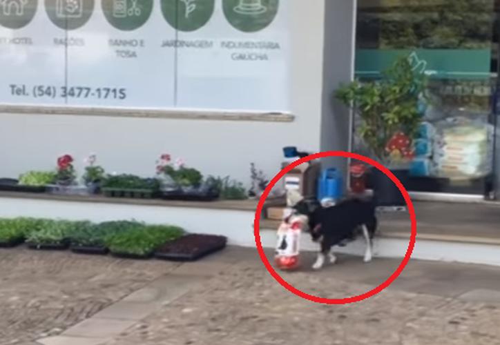 Pituco, un perro de 12 años del sur de Brasil, no deja pasar un solo día sin darse una vuelta a la tienda de mascotas. (Captura Youtube).