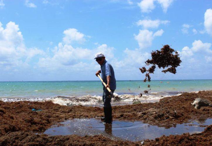 Operadores de tours acuáticos y pescadores colaboran con las labores de recoja de sargazo en las costas de Playa del Carmen. (Octavio Martínez/SIPSE)