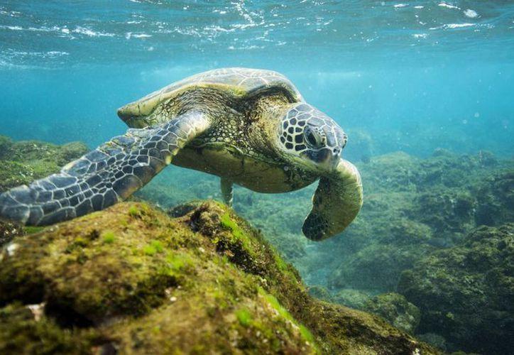 Imagen de divulgación sin fecha de una tortuga en uno de los atolones de Monumento Nacional Papahanaumokuakea, en el archipiélago de Hawai, Estados Unidos. (EFE)