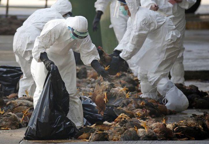 La OMS aseguró que se reportan mutaciones en el virus de la gripe aviar que ahora se está propagando en China. Imagen de contexto de un grupo de trabajadores de la salud mientras recogen pollos muertos en una granja. (AP Photo / Kin Cheung, archivo)