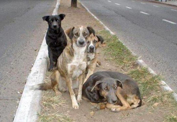 Los perros callejeros son el mayor foco de infección indicó la doctora de la Universidad Anáhuac de la Ciudad de México.(Redacción/SIPSE)