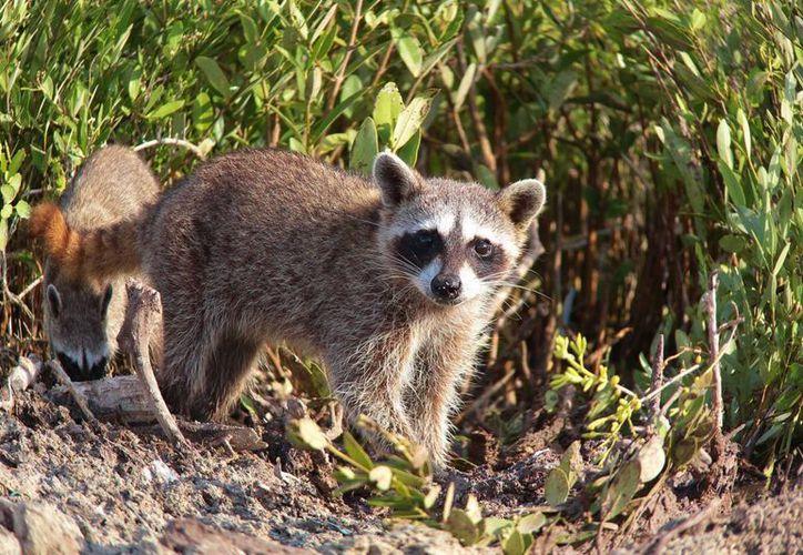 El mapache enano de Cozumel se encuentra en la etapa crítica de extinción, el último escalón para desaparecer de la faz de la tierra. (Gustavo Villegas/SIPSE)