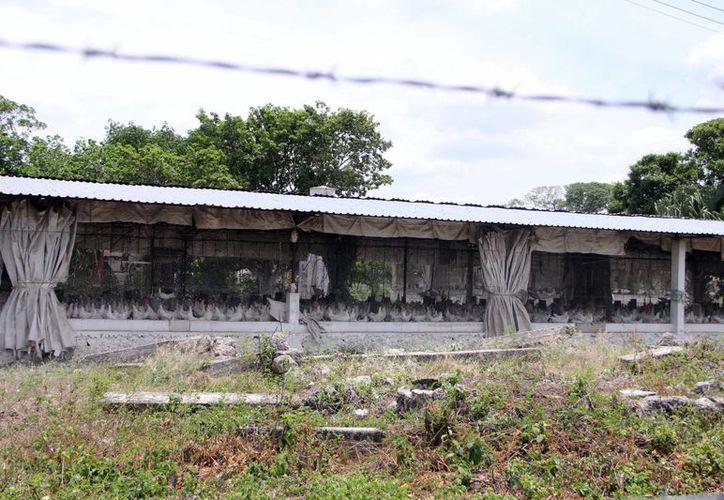Las granjas yucatecas tienen una producción suficiente para abastecer al sureste del país. (Milenio Novedades)