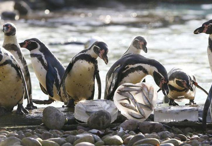 Desde que el iceberg se encuentra en la zona donde está instalada la colonia de pingüinos, las aves se han visto obligadas a desplazarse hasta 60 kilómetros para poder alimentarse. (AP)