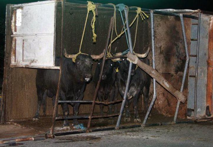 Imagen de los toros de lidia que quedaron dentro de la jaula de la caja volcada en medio de una carretera de Progreso. (Martín González/SIPSE)