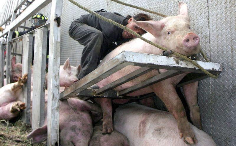 Darán cárcel por sacrificio de animales con crueldad