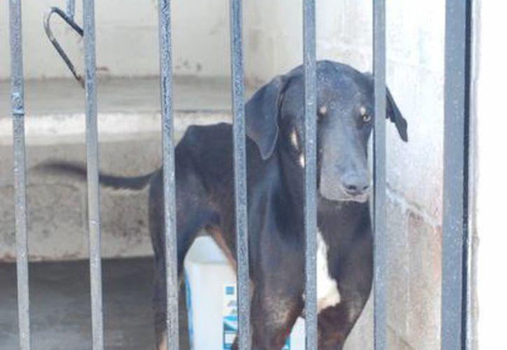 Gracias a la rehabilitación que se brinda en el santuario, ninguno de los canes es agresivo. (Tomás Álvarez/SIPSE)