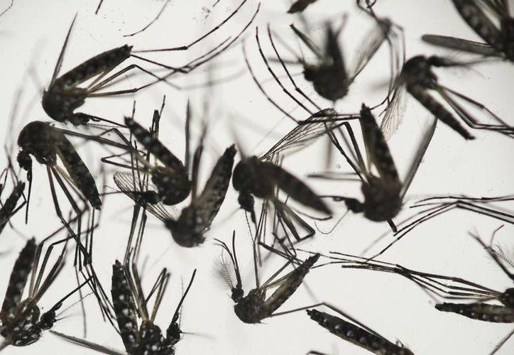 Dos yucatecos de la comisaría de X-can, en Chemax, son los primeros pacientes en el Estado en presentar síntomas probables de Zika, aunque no se descarta que podría tratarse de dengue o chikungunya. (AP)