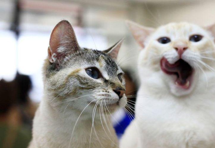 La reacción de unos gatos segundos antes de un temblor en Japón intriga a usuarios de redes sociales. (Foto: Contexto)