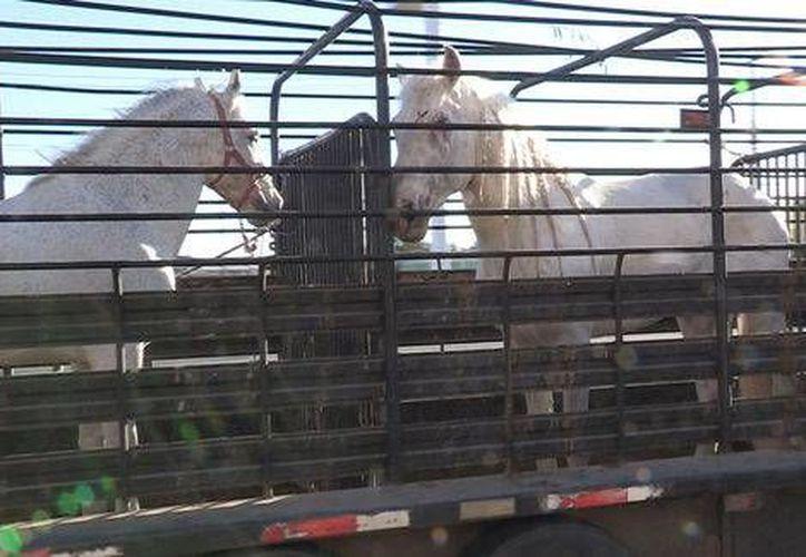 Los caballos recuperados pertenecían al rancho Santa Fe.(Milenio)