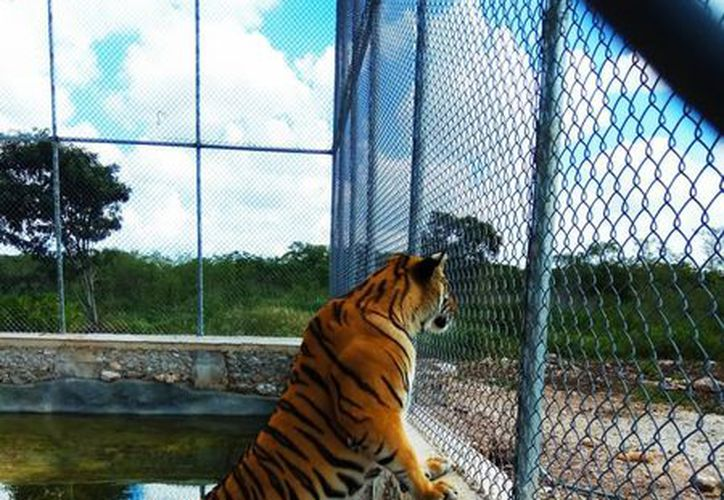 La Procuraduría Federal de Protección al Ambiente aseguró dos ejemplares de tigre de bengala que se encontraban en el Rancho Santa María, ubicado en el municipio de Baca. (Profepa)