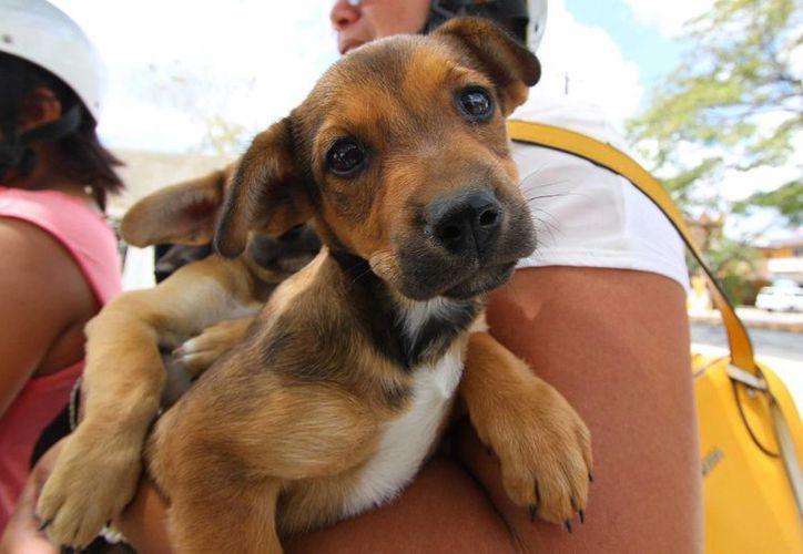 La aplicación de vacunas contra la rabia en perros y gatos, continuará hasta el miércoles próximo en Cozumel. (Gustavo Villegas/SIPSE)