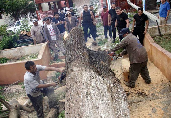 Un árbol de gran tamaño cedió a los efectos de la turbonada en Pensiones. (Juan Albornoz/SIPSE)