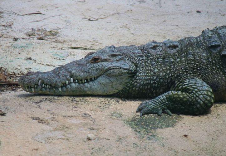 En lo que va del 2017 se han reportado dos capturas de cocodrilo en Cozumel.  (Gustavo Villegas/SIPSE)