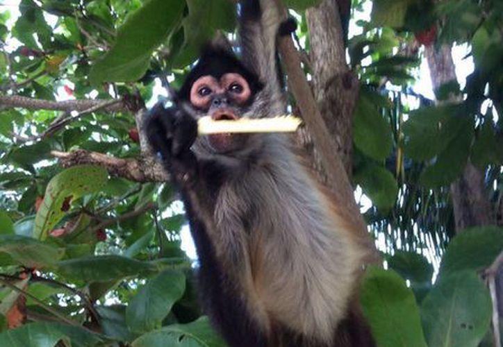 El mono araña es considerado una especie en peligro de extinción. (Octavio Martínez/SIPSE)
