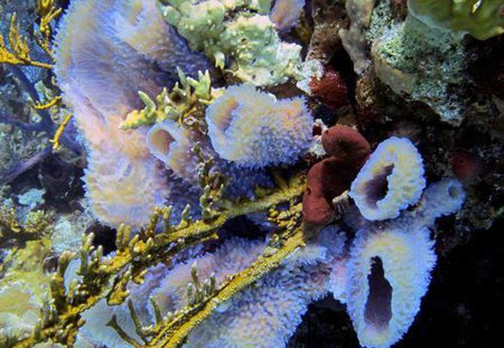 Un nuevo tipo de esponja fue descubierto en los cenotes 'Dos Ojos', en Tulum.  (Cortesía Sean Nash)